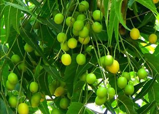 Azadirachta-indica (Oops! image not found)