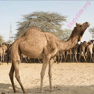 camel (Oops! image not found)