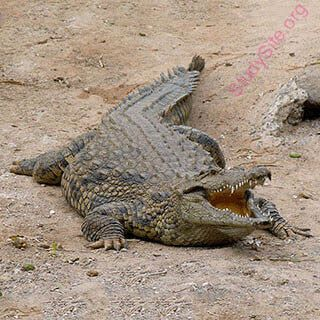 crocodile (Oops! image not found)