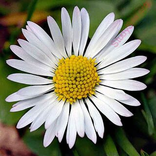 English To Kannada Dictionary Meaning Of Daisy In Kannada Is ಡ ಸ ಅಪರ ಜ