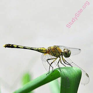 English to Kannada Dictionary - Meaning of Dragonfly in