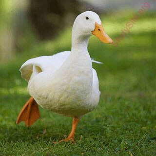 duck (Oops! image not found)