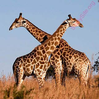 giraffe (Oops! image not found)