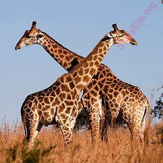 Giraffe meaning in urdu