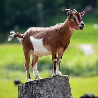 goat (Oops! image not found)