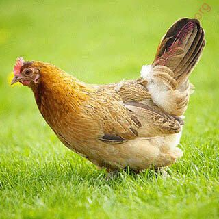 hen (Oops! image not found)
