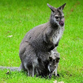 kangaroo (Oops! image not found)