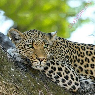 leopard (Oops! image not found)