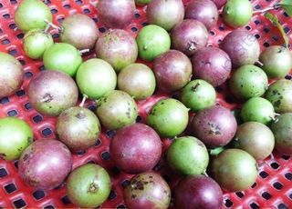Madagascar-Plum (Oops! image not found)