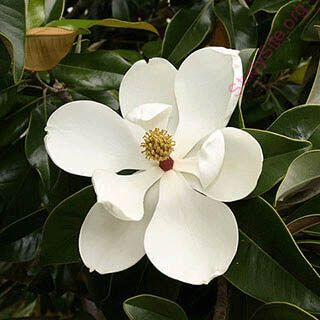 English To Hindi Dictionary Meaning Of Magnolia In Hindi Is