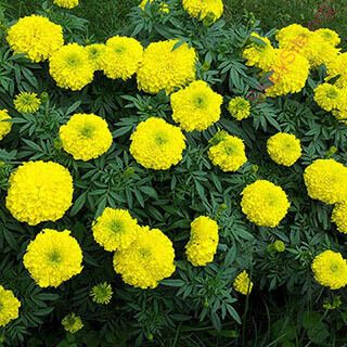 English to Kannada Dictionary , Meaning of Marigold in