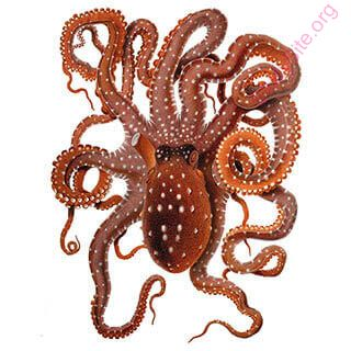octopus (Oops! image not found)
