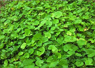 Pennywort (Oops! image not found)