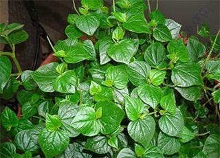 Peperomia-pellucida (Oops! image not found)