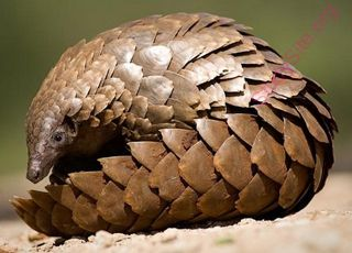 pangolin (Oops! image not found)