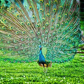 peacock (Oops! image not found)