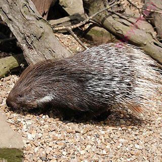 porcupine (Oops! image not found)