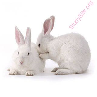 English to Marathi Dictionary - Meaning of Rabbit in Marathi is