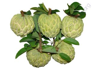 Sweetsop (Oops! image not found)