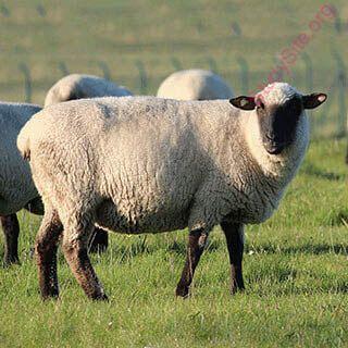 English to Punjabi Dictionary - Meaning of Sheep in Punjabi is : ਭੇਡ