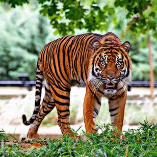 tiger (Oops! image not found)