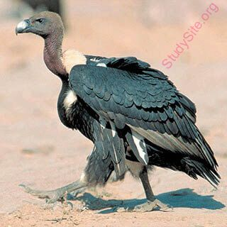 vulture (Oops! image not found)