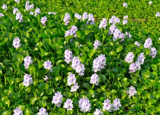 Water-Hyacinth (Oops! image not found)