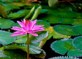 Water-lily (Oops! image not found)