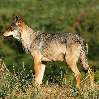 English to Punjabi Dictionary - Meaning of Wolf in Punjabi