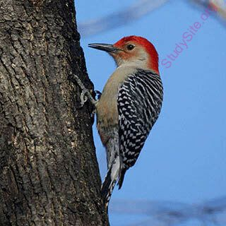 woodpecker (Oops! image not found)